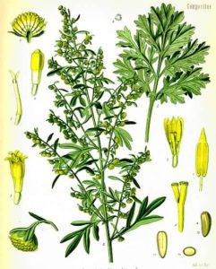 assenzio artemisia absinthium
